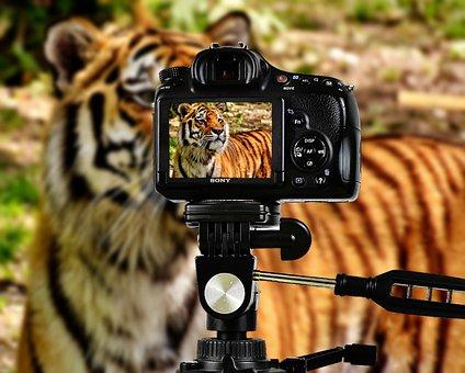 Tiger, Predator, Fur, Camera, Photograph, Beautiful