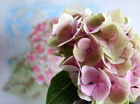 Hydrangea, Flower, Watercolour, Painting, Nature