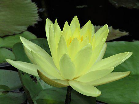 Lotus, Lotus Flower, Pond Flower, Yellow Flower