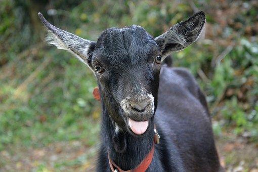 Goat, Face, Portrait, Nature, Goat Alpine