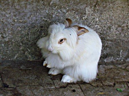 Bunny, Rabbit, Angora, Animal