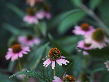 Echinacea, Flower, Summer, Garden, Love, Romance