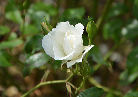 White Rose, Rose Bud, Green Foliage, Nature, Rosebush