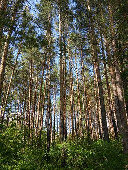 Forest, Nature, Pine, Russia, Summer, Trees, Landscape