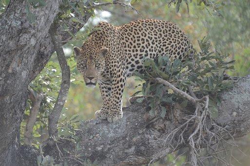Leopard, Carnivore, Animal, Wildlife, Cat, Safari