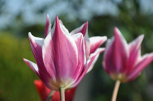 Tulip, Purple, Greeting Card, Flowers, Spring, Close