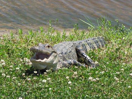 Alligator, Reptile, American Alligator, Animal, Teeth
