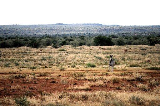 Zebra, Veld, Red, Soil, Grass