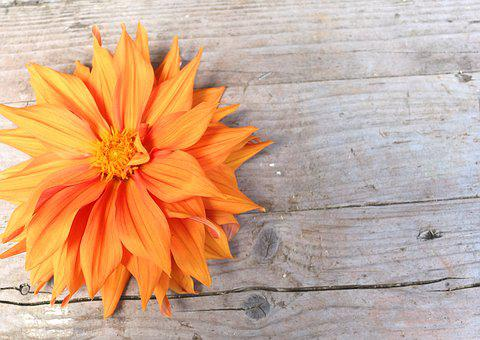 Dahlia Bright, Large Blooms, Background, Orange, Wood