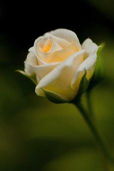 Flower, Rose, Blossom, Bloom, Nature, Rose Blooms