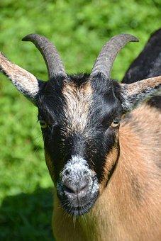 Goat, Nature, Animal, Creature, Animal World