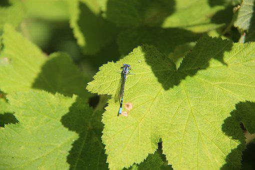 Dragonfly, Nature, Leaves, Insect, Animal, Wildlife
