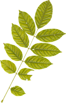 Leaf, Leaves, Plant, Autumn, Fall, Nature, Green