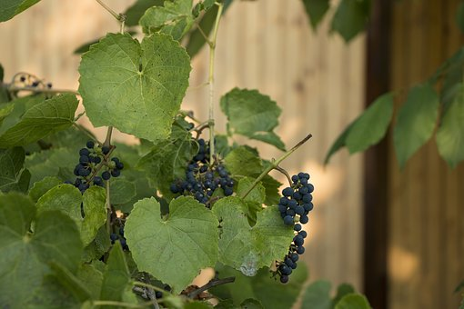 Berry, Grapes, Foliage, Vine