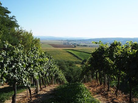 Vineyard, Hill, Green, Background, Grapes, Vines