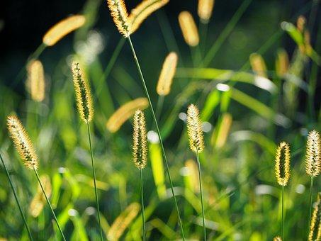 Grasses, Grass, Mood, Background, Sun, Nature, Green