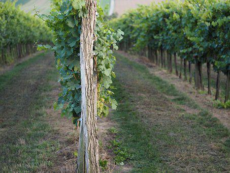 Vineyard, Nature, Autumn, Wine, Grapes, Harvest, Ripe