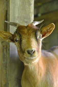 Goat, Nature, Dwarf Goat, Creature, Horns