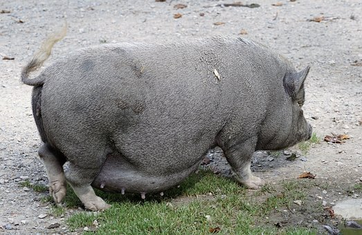 Pot Bellied Pig, Pig, Domestic Pig, Animal, Sow, Mammal