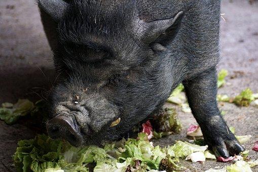 Pot Bellied Pig, Pig, Domestic Pig, Animal, Mammal