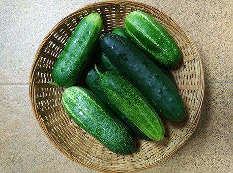 Cucumbers, Orchard, Vegetables, Harvest, Cucurbits