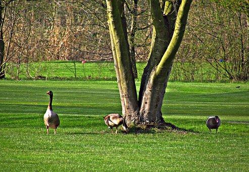 Meadow, Geese, Birds, Field, Wild, Grass