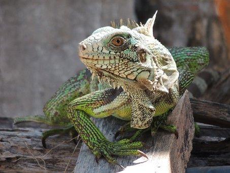 Chameleon, Iguana, Animal, Nature, Bug