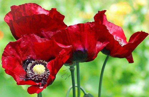 Poppy, Poppies, Flower, Flora, Red, Plant, Opium, Bloom