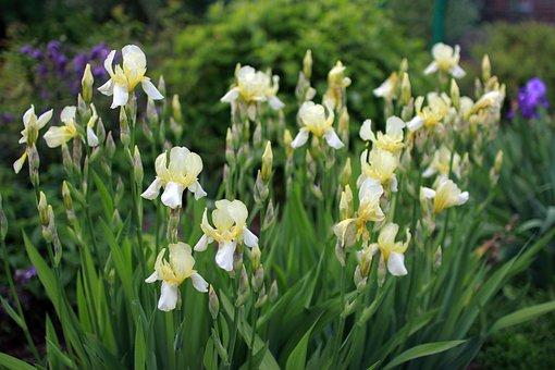 Flowers, Irises, Nature, Garden Flowers, Summer, Garden