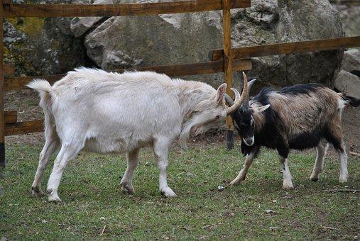 Goats, Brawlers, Animals, Goat Fight, Nature