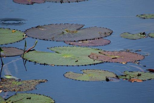 Pond, Aquatic Plants, Water