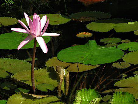 Lotus, Pond, Pond Flower