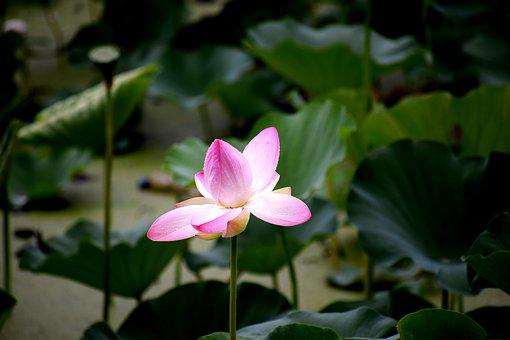 Lotus, Pond, Nature, Water, Flower, Blossom, Bloom