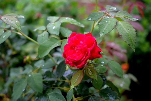 Rose, Red, Natural, Red Roses, Flower, Red Rose, Love