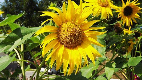 Flora, Flowers, Summer, Ornamental Sunflower, Garden