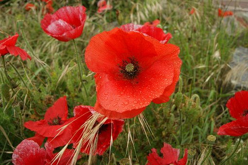 Summer, Flowers, Red Poppy