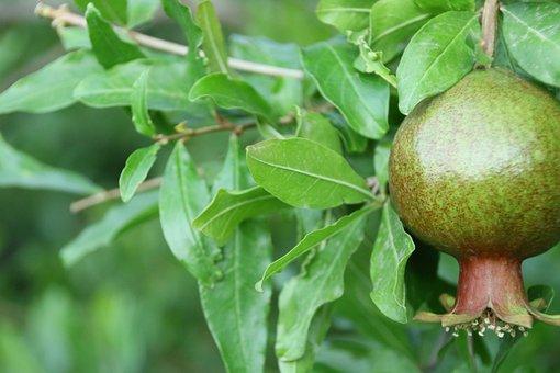 Pomegranate, Fruit, Tropics, Exotic, Eat, Sweet