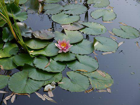 Flower, Water Lily, Water, Aquatic Plant, Teichplanze
