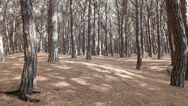 Trees, Forest, Cecina, Tuscany, Pineta, Brown