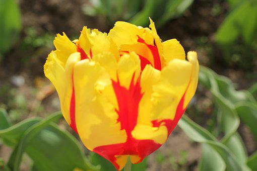 Tulip, Flowers, Garden, Vegetable Garden, Spring