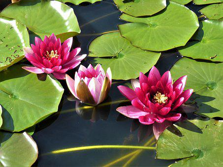Water Lily, Lotus Flower, Pond, Button, Zen, Pink