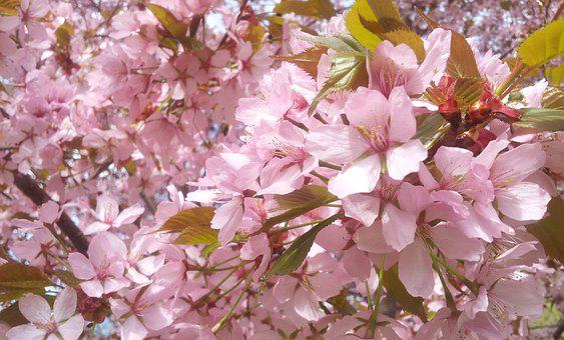 Cherry Blossom, Flowers, Pink Flowers, Flower, Summer
