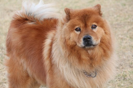 Dog, Chinese Chow, Fury, Chow-chow, Breed, Brown, Pet