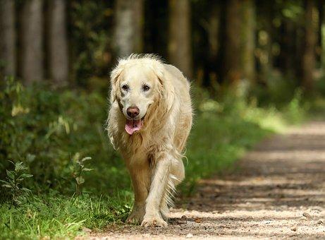 Golden Retriever, Dog, Retriever, Golden, Purebred Dog