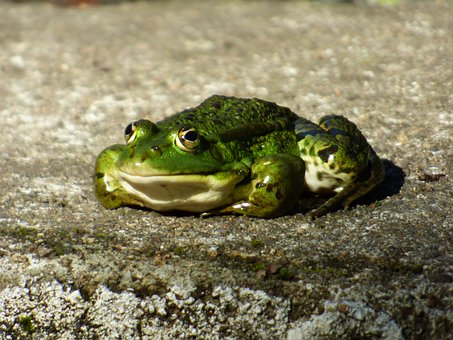 Amphibian Animal, Green Frog, Edible Frog