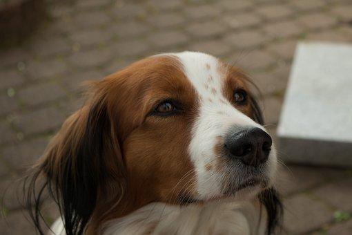 Dog, Hybrid, Pet, Animal