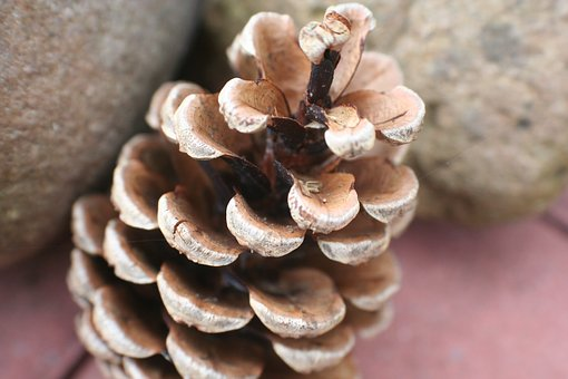 Pine Cones, Tap, Pine, Forest, Christmas, Needle Branch