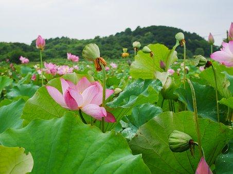 Plant, Lotus, Rain, Hubei, Wuhan, Lotus Seeds