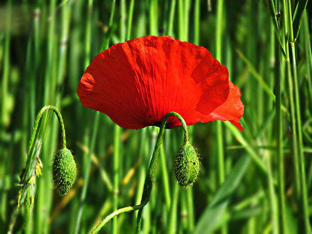 Flower, Poppy, Poppies, Nature, Plant, Plants