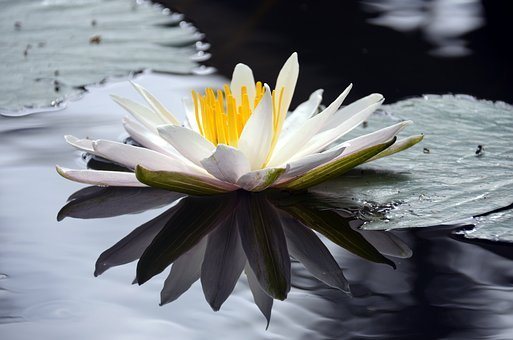 Lotus, Flower, Pond, Aquatic Plant, Water Lily